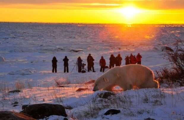 Белые медведи тоже приходят к человеку за едой.