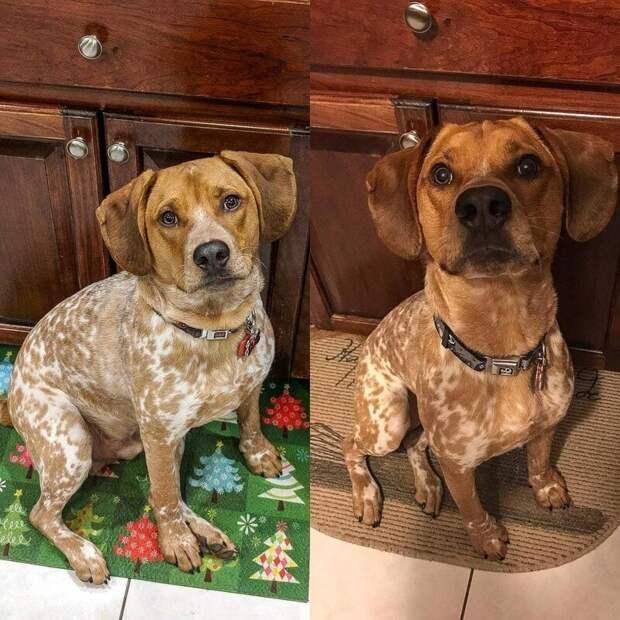 7. Вот такой результат у пса по имени Уилсон диета, до и после, домашний питомец, животные, похудела, собака, фигура