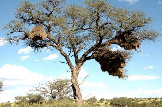 Эффектные гнезда обыкновенных общественных ткачей
