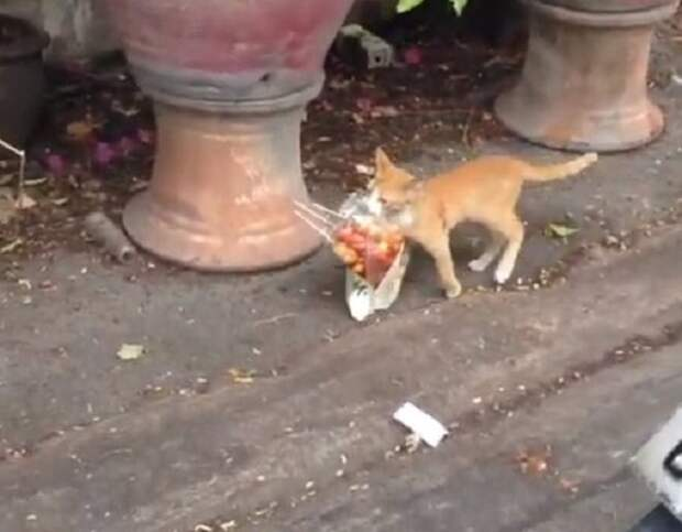 Рыжий курьер: по улице грациозно шёл котик, который нёс в пакете шашлыки