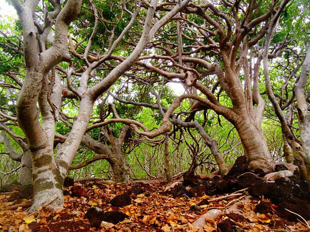 Манцинелловое дерево, или манцинелла (лат. Hippomane mancinella L.) - самое  ядовитое дерево в мире - Травник - Блог «Весело»