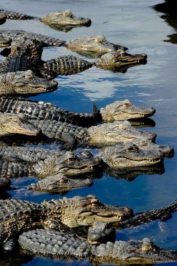 Самый старый крокодил в мире – крокодил по имени Генри, возраст которого 114 лет. аллигатор, интересное, крокодил, природа, факты, фауна