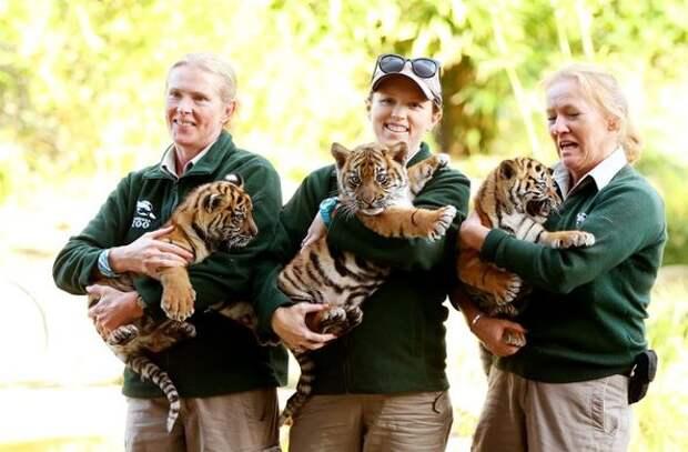 В зоопарке Сиднея посетителям показали суматранских тигрят
