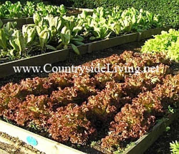 Салат зеленый на высокой грядке
