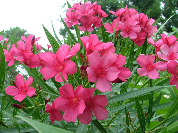 Этот распространенный вечнозеленый кустарник является одним из самых ядовитых растений мира. Листья, цветы и фрукты содержат сердечные гликозиды, которые используются в терапевтических целях, но с тем же успехом, это милое растение может запросто стать смертельным оружием, способным остановить Ваше сердце.