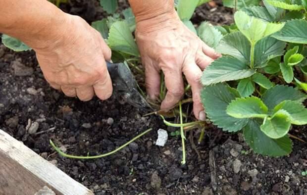 6 секретов выращивания земляники