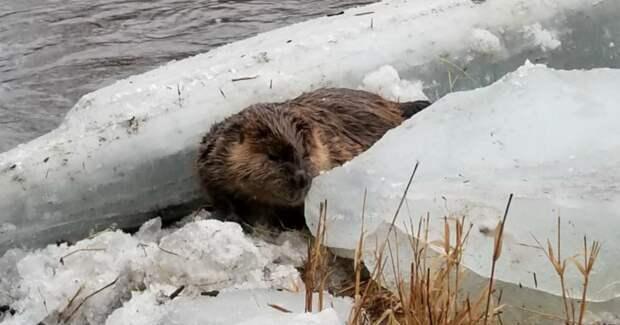 Бедный бобер вмёрз в льдину и ждал конца… Хорошо, что не дождался!