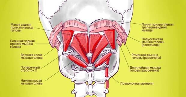 мышцы шеи и плеч