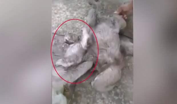 Ленивцы дрались и ничего не замечали! А внутрь клубка их тел случайно попал живой «приз»…