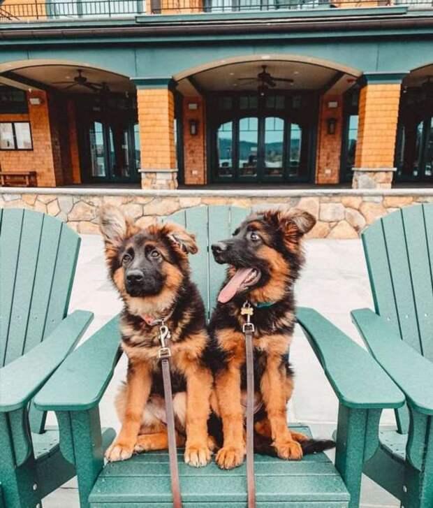 Забавные щенки немецких овчарок — одних из самых умных собак