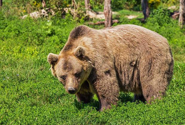 Медведь загрыз молодую женщину в Красноярском крае