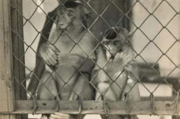 Зачем курский ученый скрещивал обезьяну и человека