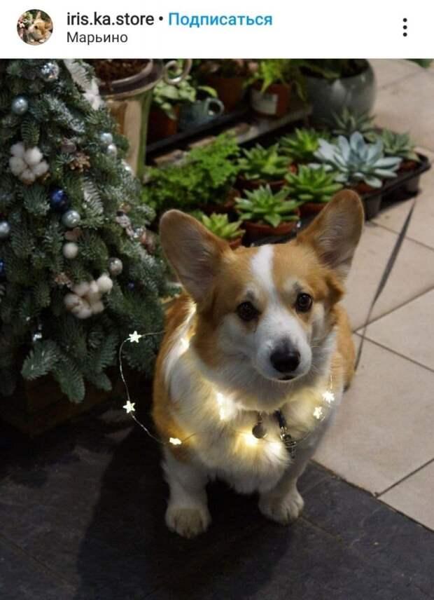 Фото дня: время наряжать ёлку… и собаку