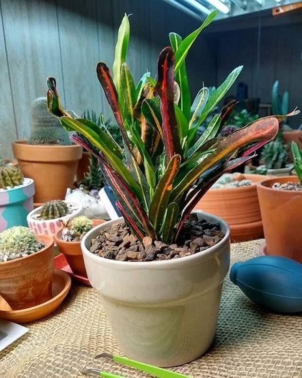 15 трехцветных комнатных растений с самым необычным окрасом листьев