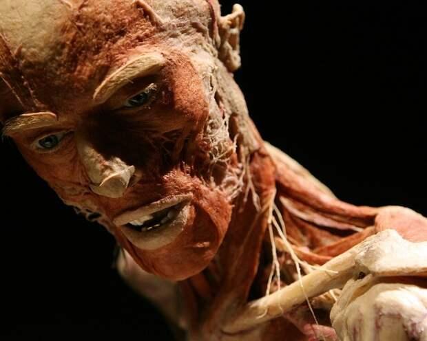 Гюнтер фон Хагенс изобрел особый способ сохранения тела. И хотя много людей подавали иски на закрытие музея - придраться со стороны закона не к чему. Художник использует трупы лишь с письменного согласия родственников искусство, красиво, поразительно, тело, человек, шедевры
