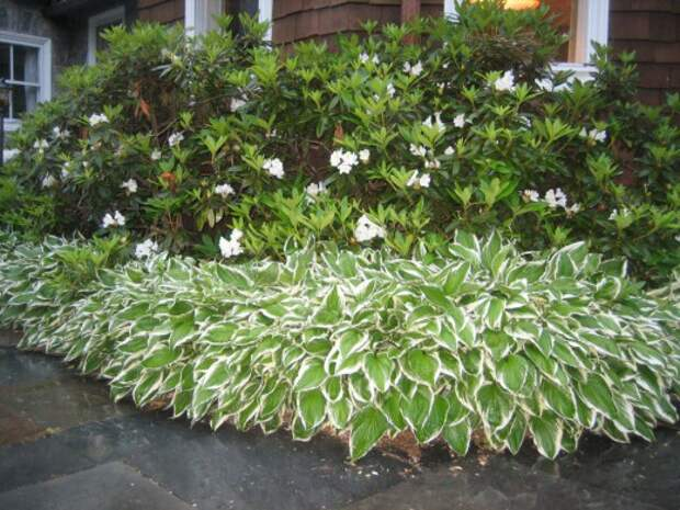 Пёстролистные хосты на фоне кустов Рододендрона
