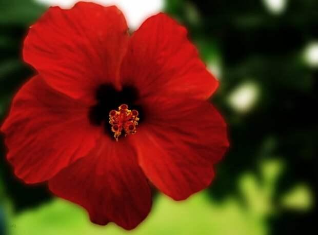почему не цветет гибискус