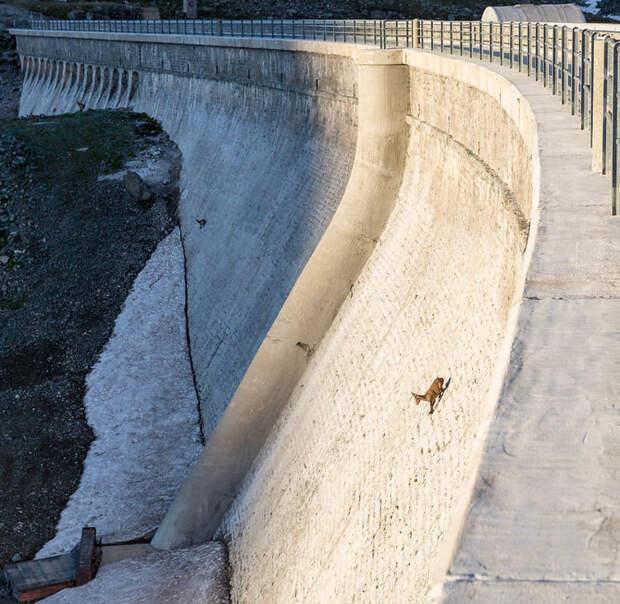 Гравитация ничто, если ты — голодный альпийский козленок!