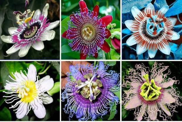 Пассифлора — цветок страсти или покоя?