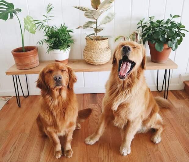 Невероятно эмоциональные золотистые ретриверы заставят улыбнуться любого instagram, золотистый ретривер, ребенок, ретривер, собака