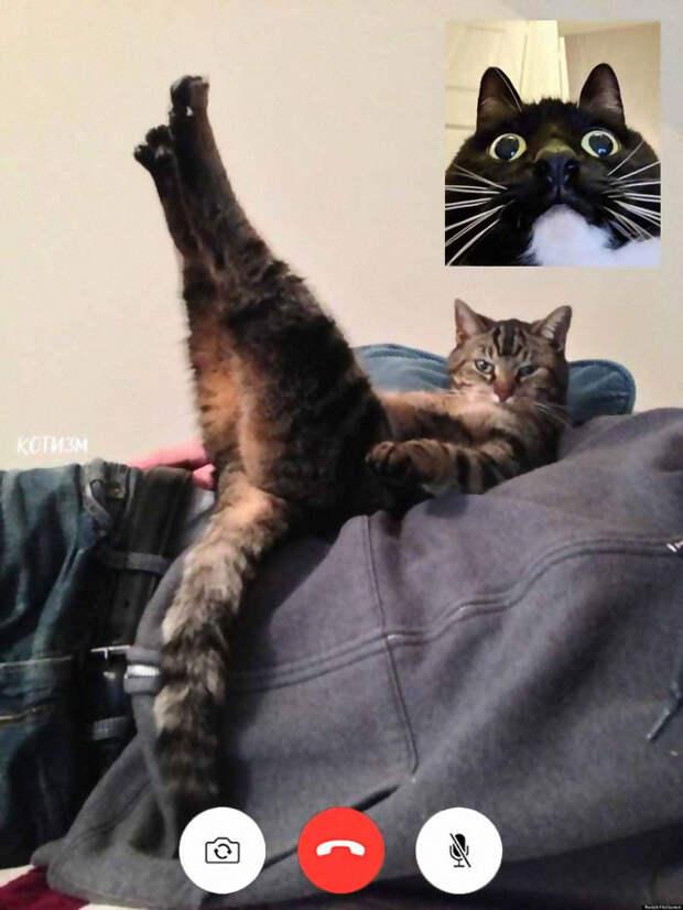 6 забавных фото котиков, которые созваниваются по видеочату