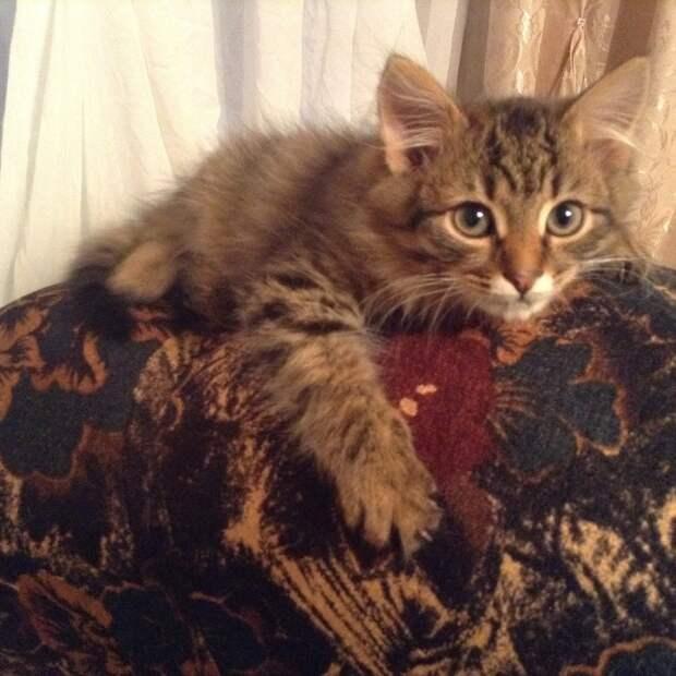 пушистый полосатый котенок на диване