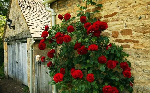 Украшаем участок плетистыми розами: базовые правила посадки и уход для постоянного цветения