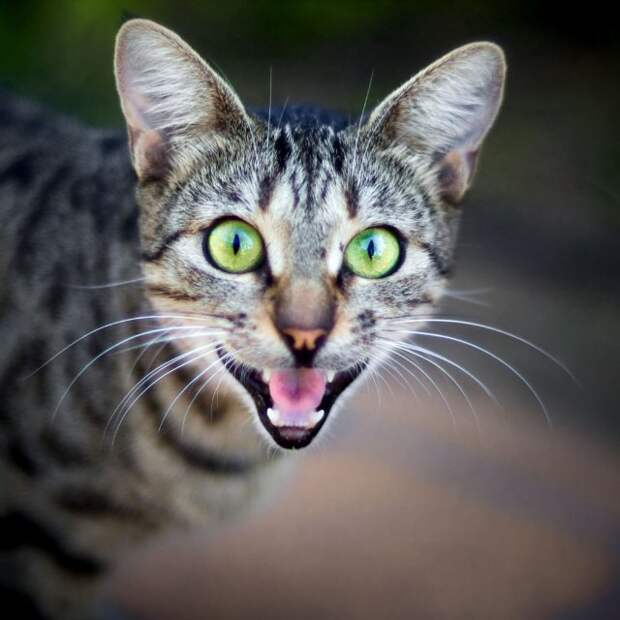 Учёные выяснили, что кошки мяукают специально для человека