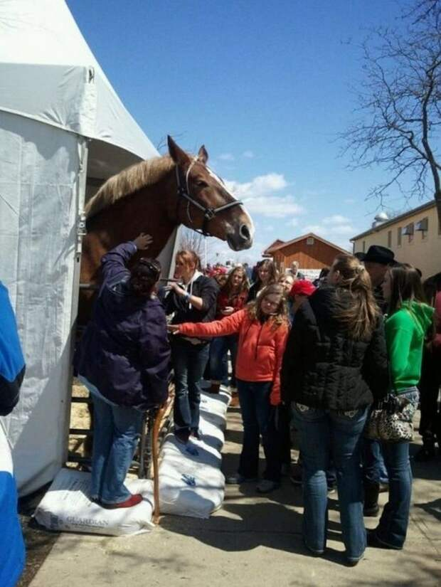 Большой Джейк - самый высокий конь в мире гигант, домашние животные, животные, конь, лошадь, рекорд, рекордсмен, рост