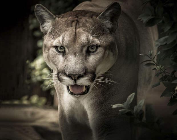 Пума издает мурлыкающие звуки, наподобие домашних кошек.