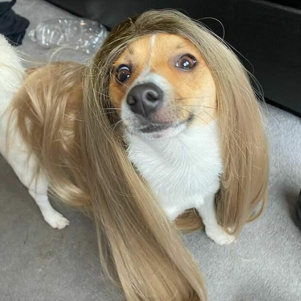 Озадаченные собачки в париках: новый развлекательный тренд
