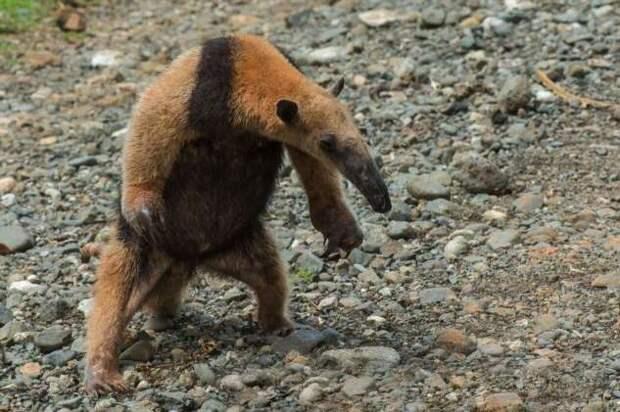 Тамандуа: Хищники обходят его стороной, а муравьи дрожат от страха. На что способна «Мини-Годзилла»? (11 фото)