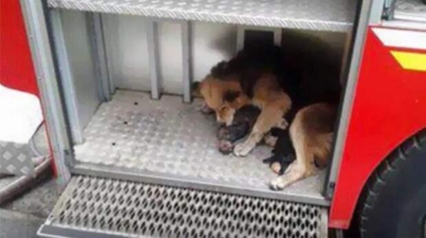 Собака спасла щенков из огня, забрав их с собой в пожарную машину