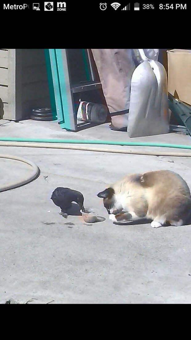 Пример удивительной дружбы - они даже едят вместе вороны, животные, птицы, фото