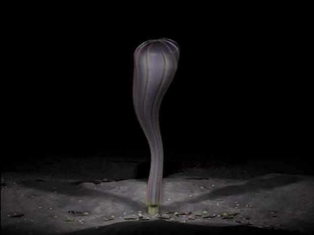 Животное Маккензия  (лат. Mackenzia costalis)