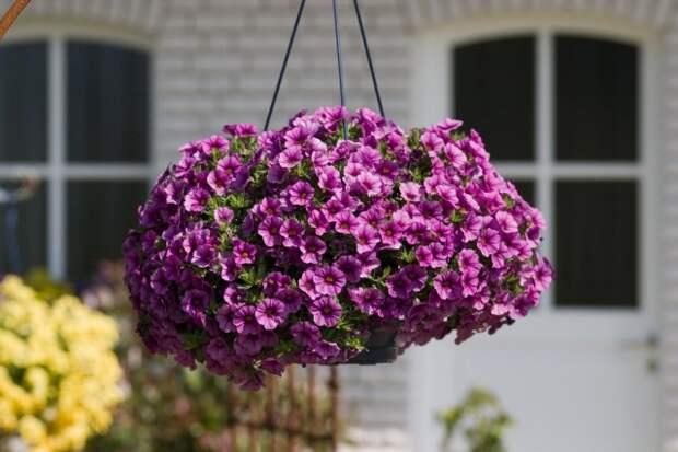 Для вертикальных, висячих садов и цветущих стен используют только ампельные сорта петуний