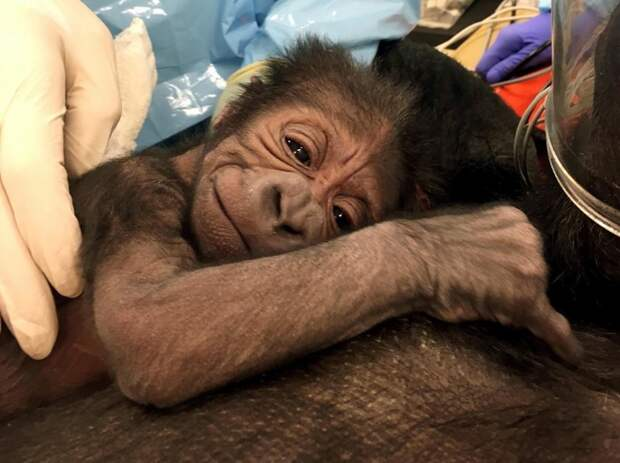 Акушеры-гинекологи помогли горилле родить здорового детеныша