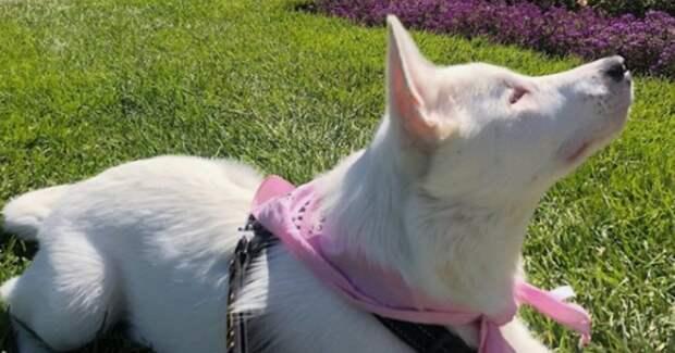 Очень трогательное видео: слепой и глухой пёс встречает хозяина с работы…