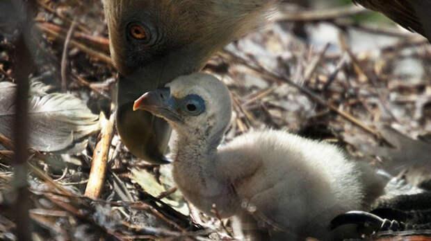Гей-пара грифов усыновила птенца! амстердам, видео, грифы, животные, зоопарк, птенец, птицы, странные нравы
