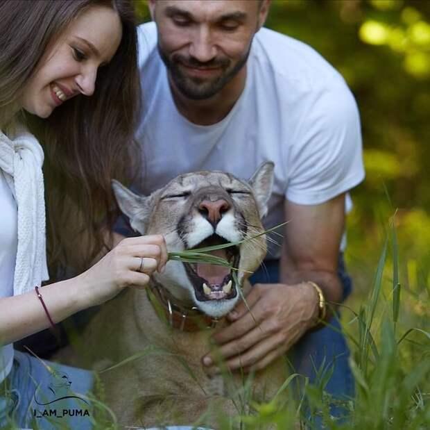 Пума Месси, спасенный из контактного зоопарка, живет, как избалованный кот