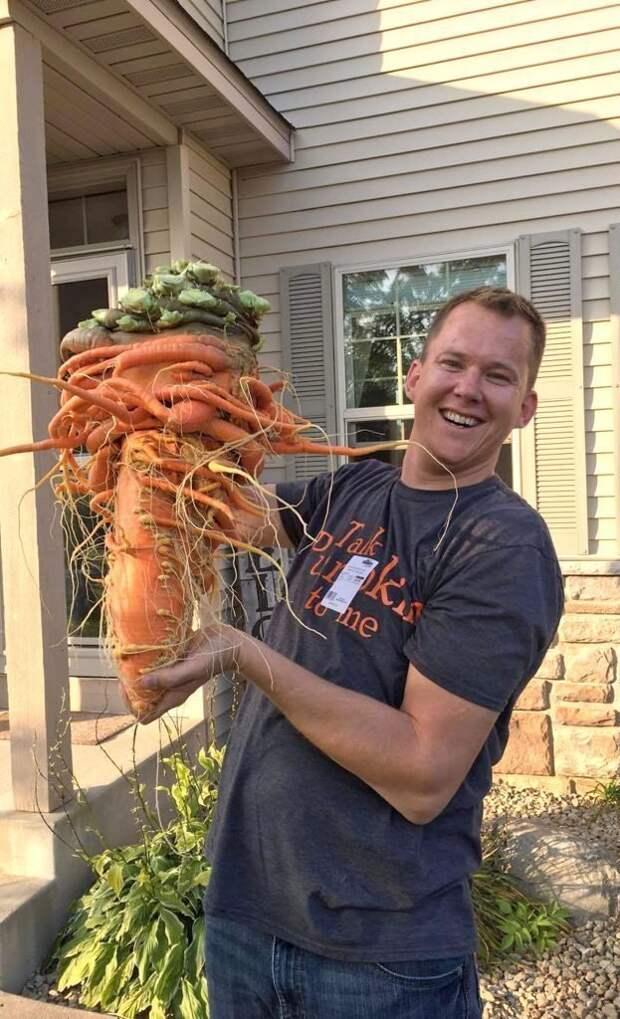 Многодетный отец из Миннесоты вырастил самую большую в мире морковь в мире, морковь, овощи, огород, урожай