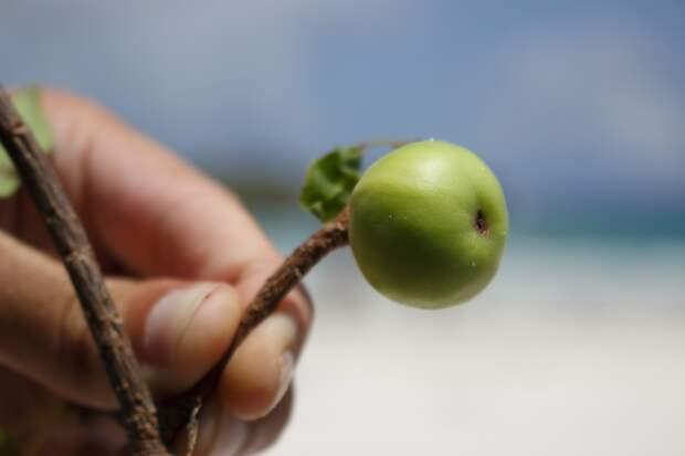 Манцинелла: самое опасное дерево в мире - ЯПлакалъ