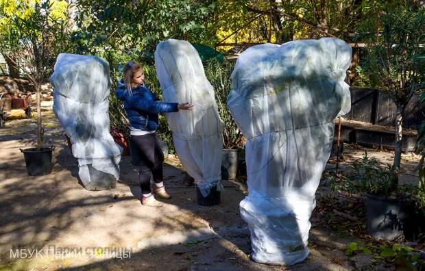 В парках Симферополя готовят к зиме бананы и магнолии