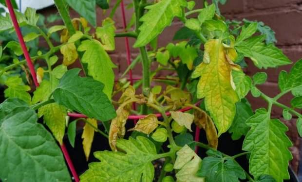 Вот почему желтеют листья у помидоров в теплице и открытом грунте