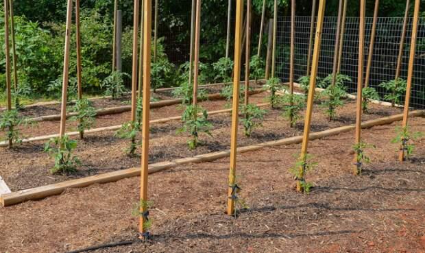 Мульчирование томатов нужно проводить на всех этапах их развития