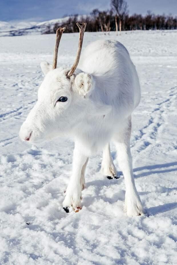 Белый северный олененок: чудо чудное и диво дивное