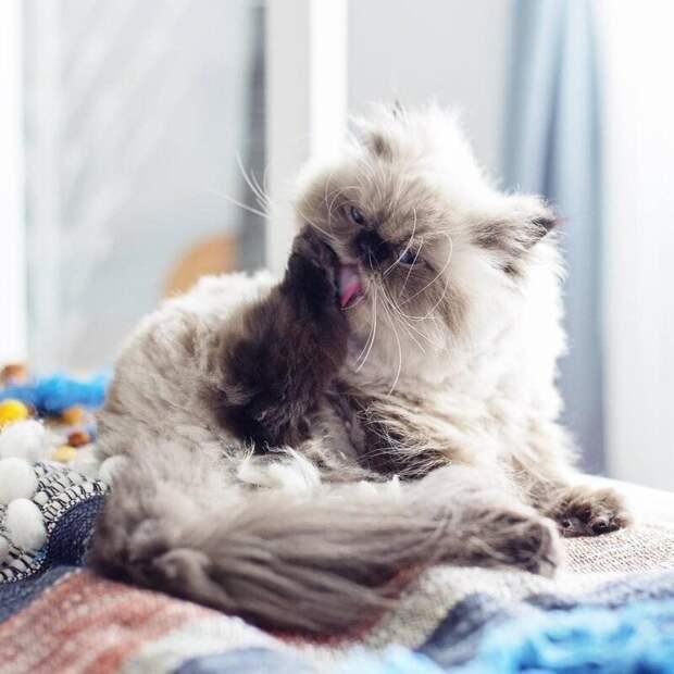 Он даже лапу вылизывает сурово животные, кот, милота, мимика, морда, ненависть