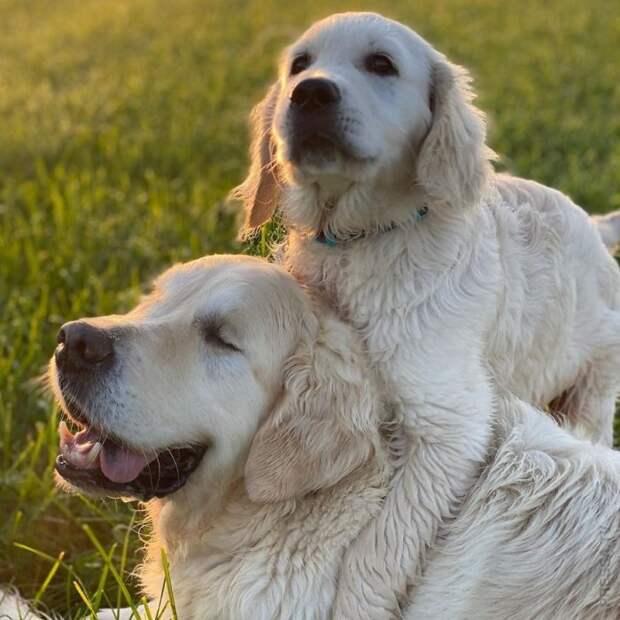 Щенок-золотистый ретривер стал поводырем и компаньоном слепого пса