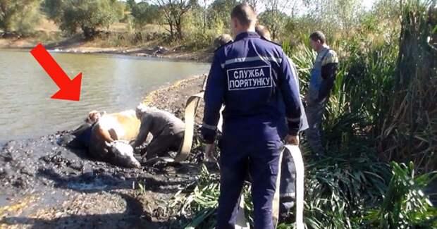 Хозяйка бросилась на помощь корове, которая тонула в болоте… Спасателям пришлось вытаскивать обеих!