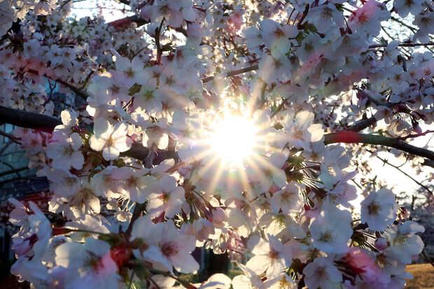 Токио, Япония. Цветение сакуры